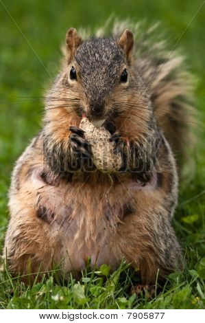 Female Eastern Fox Squirrel