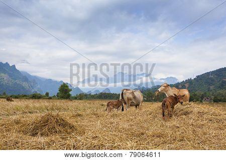 Cattle herds in rice field