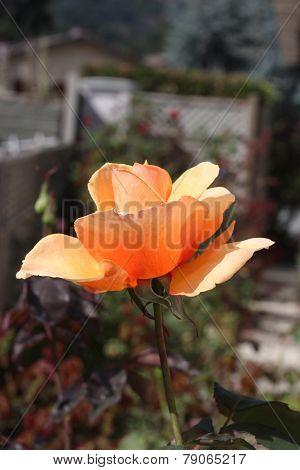 Back Yard Rose
