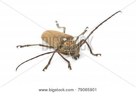 Mango Tree Borer Isolated On White.