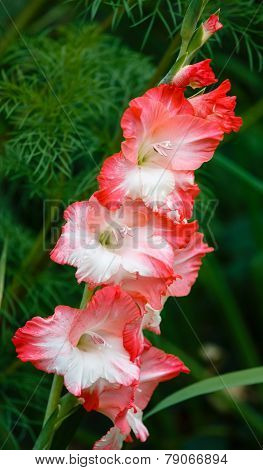 Red And White Gladiolus