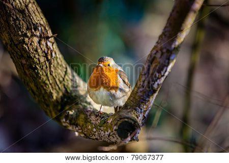 Small Robin bird