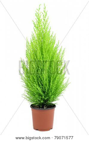 a goldcrest cypress in a plant pot on a white background