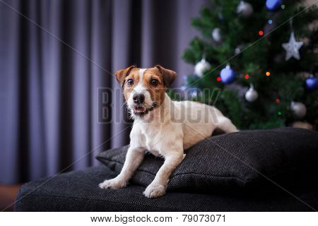 Jack Russell Dog At The Christmas And New Year