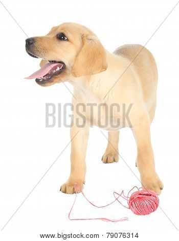 Cute Puppy And String