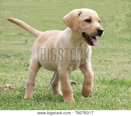 Adorable Labrador Puppy On Green Grass