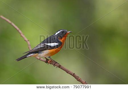 Mugimaki Flycatcher Bird