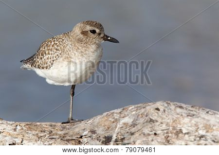 Black-bellied Plover on branch.