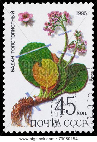 Medicinal Plant From Siberia