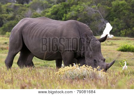 White Rhino And Egrets