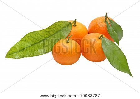 Four Tangerines With Green Leaves.