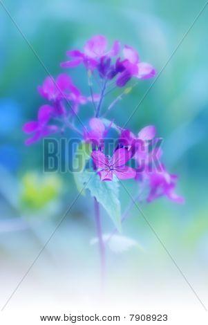 Lunaria, Flower Stage Honesty