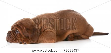 dogue de bordeaux puppy laying down on white background - 5 weeks old