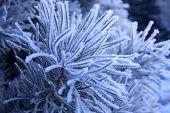 pic of conifers  - Beautiful winter landscape - JPG