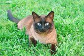 image of siamese  - Cute siamese cat on summer green grass - JPG