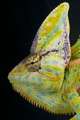 foto of lizards  - The cone head chameleon is a spectacular - JPG