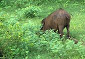pic of boar  - Wild boar grazing in Yala National Park Sri Lanka Southern Province Asia - JPG