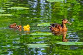 stock photo of baby duck  - Different colored duck babies swimming on a river in breeding season spring - JPG