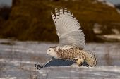 foto of snowy owl  - Snowy Owl flying in winter in Wisconsin. [[** Note: Shallow depth of field ** Note: Visible grain at 100%, best at smaller sizes - JPG