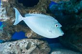 stock photo of saltwater fish  - Naso unicornis - bluespine unicornfish - saltwater fish