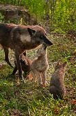 stock photo of lupus  - Grey Wolf Pups  - JPG