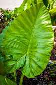 stock photo of elephant ear  - Tropical Elephant Ear Leaf with in Thailand - JPG