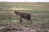 image of hyenas  - A hyena traveling through the rain on the East Serengeti plains - JPG