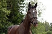 image of breed horse  - Black latvian breed horse portrait at the countryside in summer - JPG