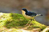 pic of robin bird  - Beautiful blue bird  - JPG