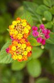 stock photo of lantana  - Macro of pink and yellow lantana camara flower - JPG