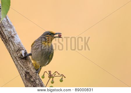 A Stripe-throated Bulbul Eating Small Red Berry