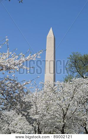 Washington Memorial During The Cherry Blosom Festival