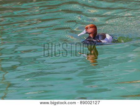 Pochard, Aythya Ferina, Single Male On Water, Warwickshire