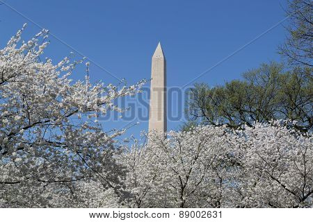 Washington Memorial And Cherry Blossoms