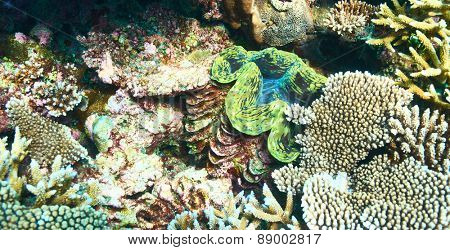 Giant clam (Tridacna gigas) at the tropical coral reef