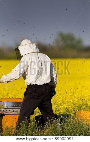 Apiarist In Rapeseed Field