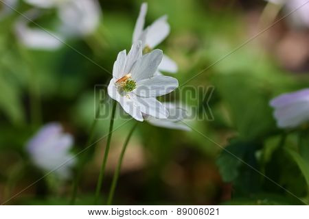 White Flower Close Up In The Forest