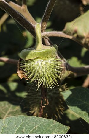 jimson weed ~ thorn apple ~ Datura fruit hanging from the branch of the  vespertine flowering plant