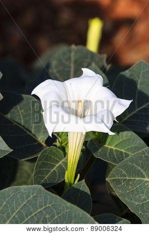 jimson weed flower ~ thorn apple flower ~ Datura flower