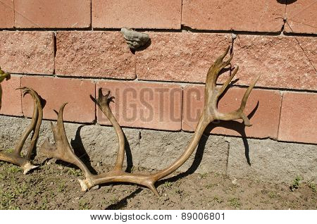 Old dry deer antlers lean against bu wall
