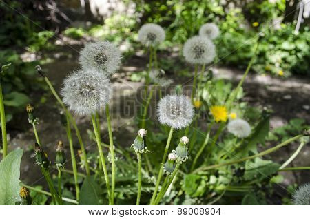 Balls of fluff dandelion in grass