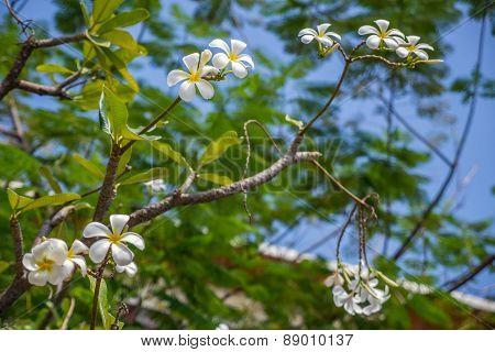 Plumeria or Templetree