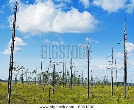 Dry Pine Trees On Green Marsh Meadow Near Lake