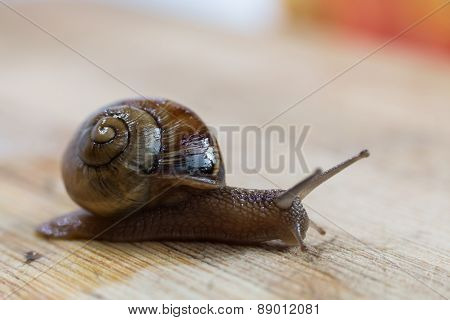 Snail Crawling On A Wooden Table