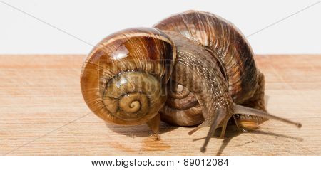 Two Snail Crawling On A Wooden Table