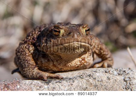 Big brown Toad