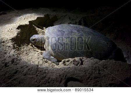 Green turtle laying eggs on beach at night