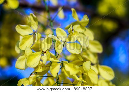 Yellow Flower Beauty in garden at PHETCHABURI