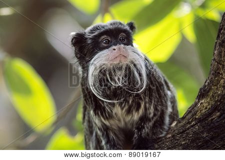 Emperor Tamarin looking sat in tree amongst leaves