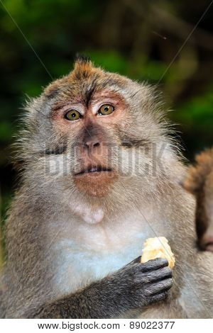Crab Eating Macaque Feeding